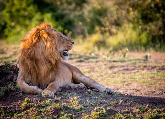 Male Lion in Ol Kinyei Conservancy