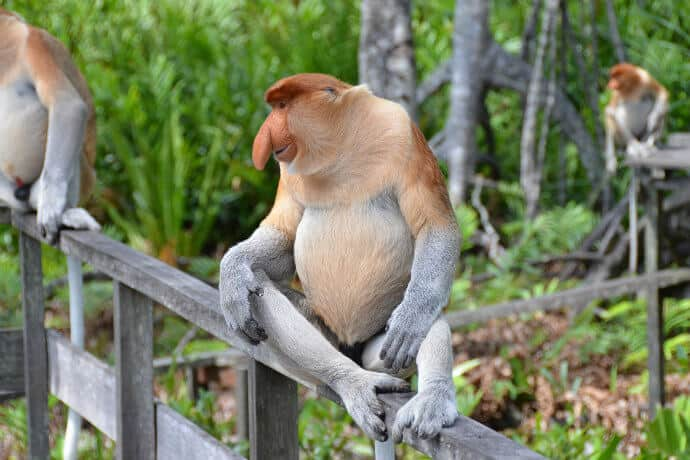 National Parks in Borneo-Bako National Park, Proboscis Monkey