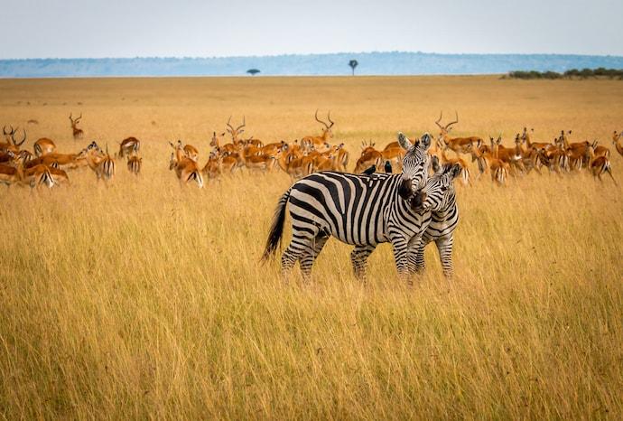 Zebra & Impala in Maasai Mara National Reserve, Kenya