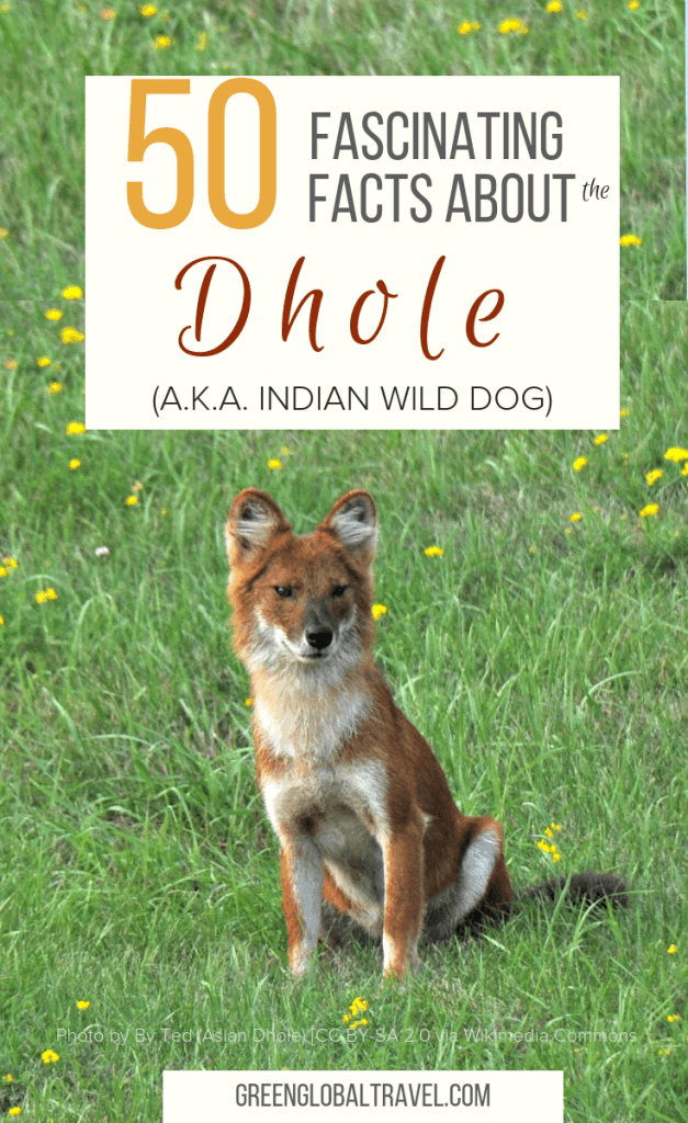 50 Facts about the Dhole (a.k.a. Indian Wild Dog) including General Facts About Dholes, Facts About Dhole Bodies, Facts About Dhole Behaviors, Facts about the Indian Wild Dogs' Diet, Why Are Dholes Endangered?, Conservation of Asiatic Wild Dogs, The Importance of Saving India's Wild Dogs, & FAQ About Dholes via @greenglobaltrvl #Wild Dogs #Indian Wild Dog #Asiatic Wild Dog