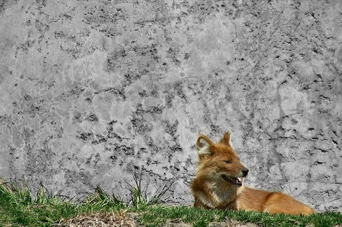 Dhole, Indian Wild Dog