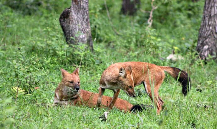 Asiatic wild dogs in Bandipur National Park, India