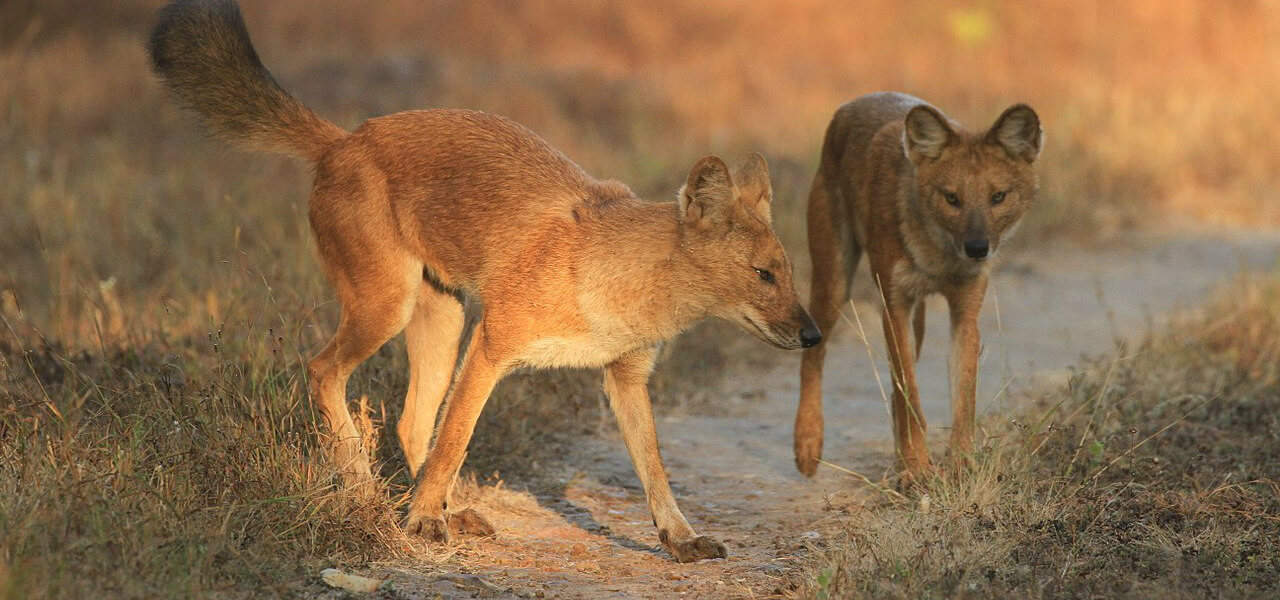 Dhole or Asiatic wild dog/Indian Wild Dog
