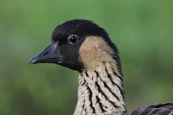 40 Fascinating Facts About the Hawaiian Goose (a.k.a. Nene Goose)