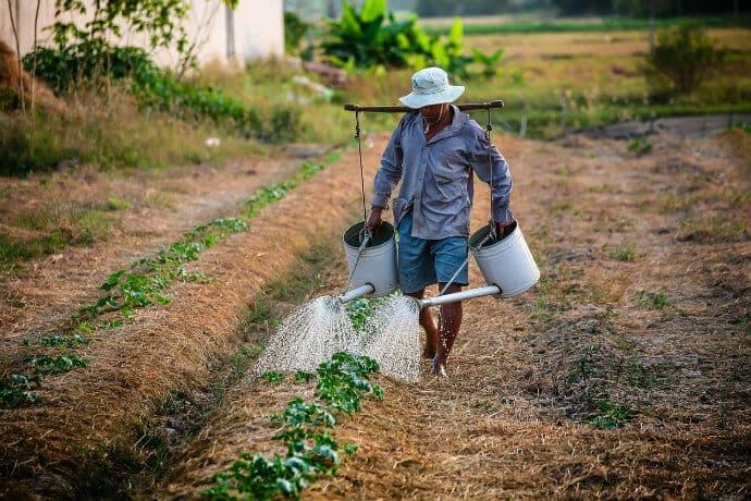 Farmer Watering GMO Crops