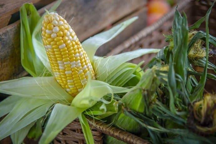 GMO Crops- Corn