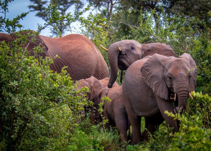 Elephant Herd in Meru National Park, Kenya