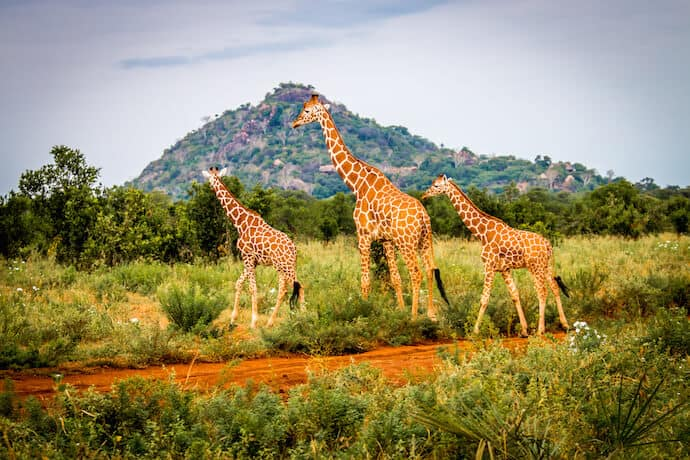 Reticulated giraffes in front of Elsa's Kopje, Meru National Park