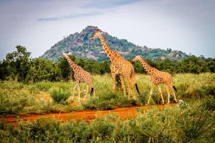 Reticulated giraffes in front of Elsa's Kopje, Meru National Park