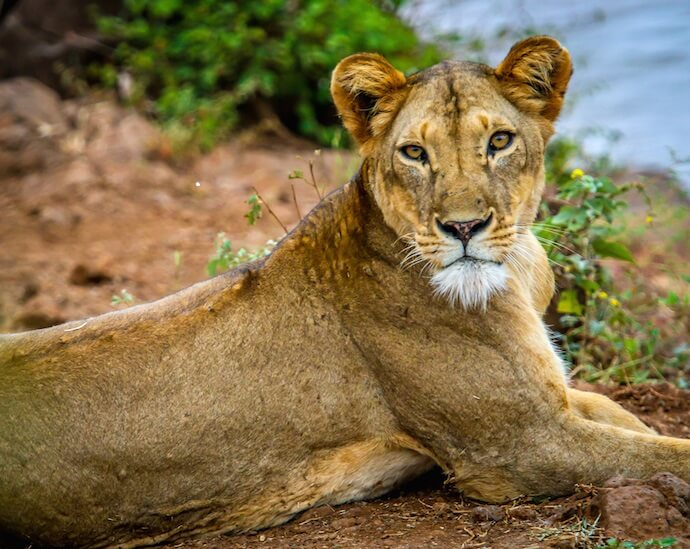 Lioness from Elsa's Pride (5-6 yrs old), Meru National Park
