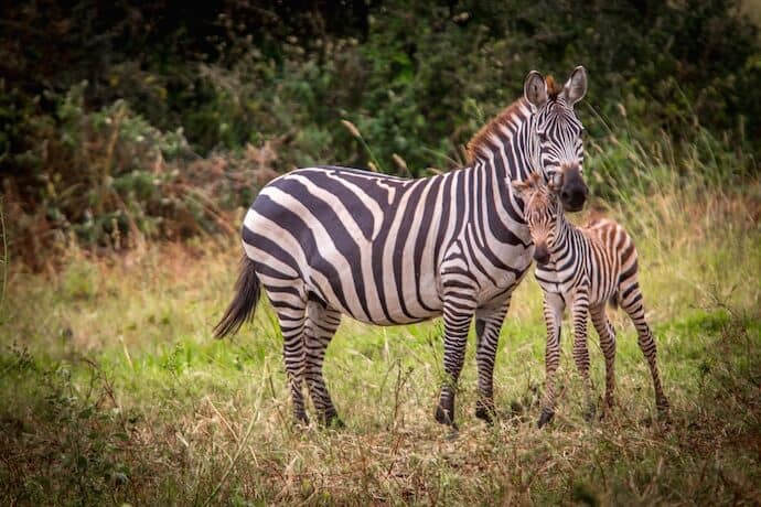 Meru National Park - Grevy's Zebras