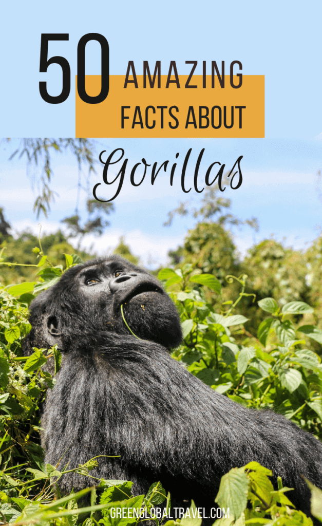 50 Facts About Gorillas including Gorilla Habitat, the Gorilla Diet, Gorilla Families, Mountain Gorilla Facts, Why Gorillas are Endangered, Gorilla Conservation & more! via @greenglobaltrvl #GorillasMountain #GorillaFacts