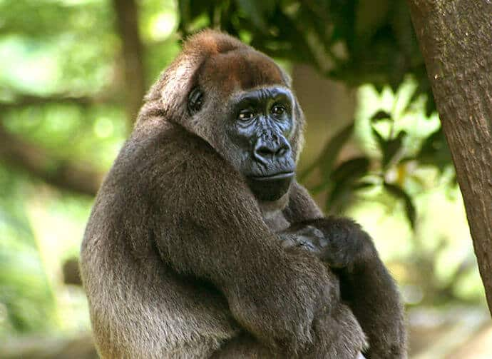 Cross River Gorilla Facts