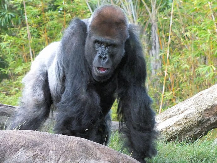 Why are Gorillas Endangered