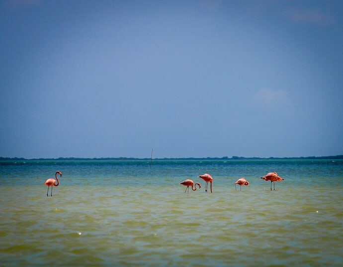 Flamingos at Punta Mosquito on Isla Holbox