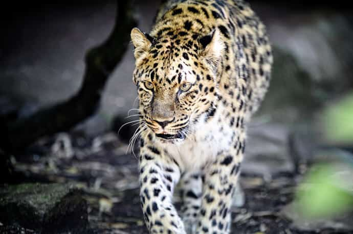 Why Are Amur Leopards Endangered?