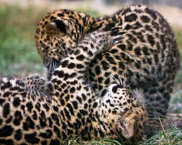 Amur Leopard Population