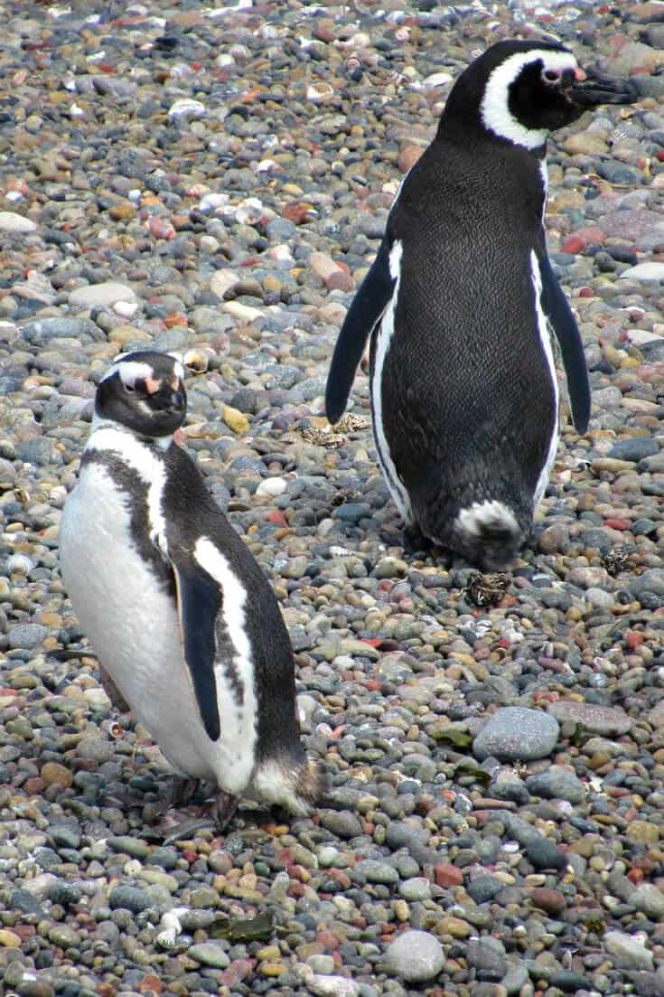 What to see in Patagonia South America -Magellanic Patagonia Penguins