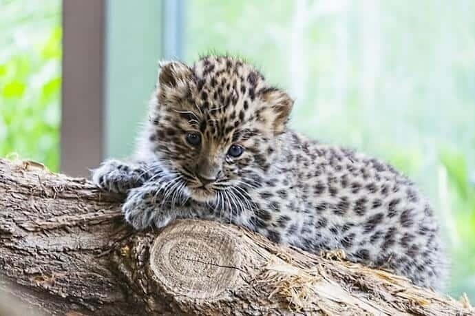Baby Amur Leopard FAQs