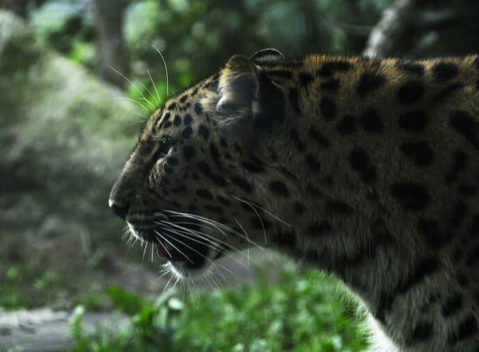 Amur Leopard Conservation