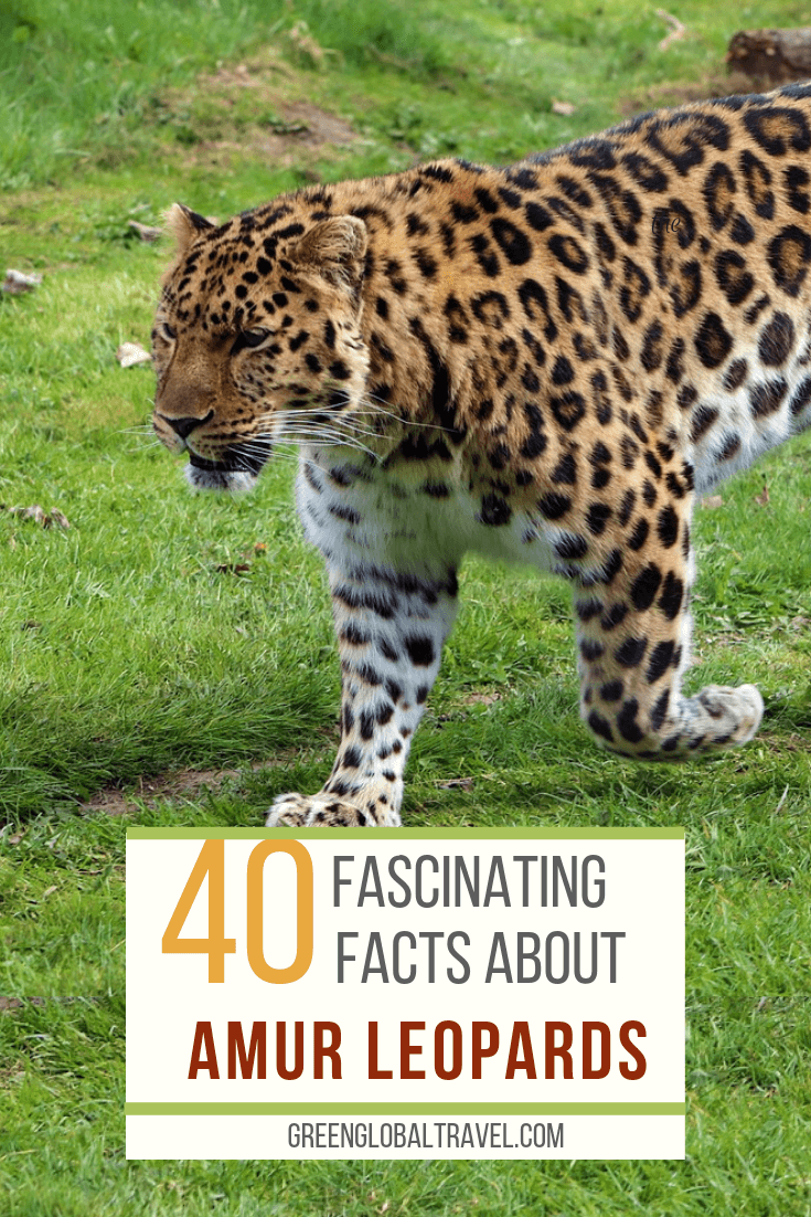40 Facts About the Amur Leopard including Amur Leopard Habitat, Amur Leopard Population, why Amur Leopards are endangered and what's being done to save them. via @greenglobaltrvl #AmurLeopard #AmurLeopardFacts #AmurLeopardHabitat #AmurLeopardAnimals #AmurLeopardCats #AmurLeopardLife
