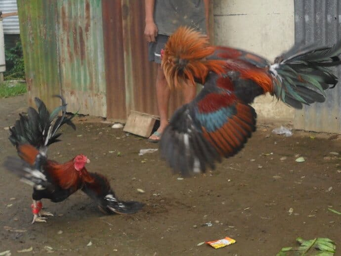 15 Harmful Traditions - Cockfighting