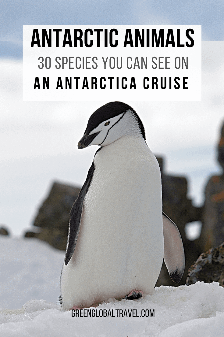 30 species of Antarctic Animals You Can See on an Antarctica Cruise including Antarctica Birds, Antarctic Penguins, Antarctic Seals, Antarctic Whales & Antarctic Dolphins | animals from antarctica | animals antarctic | animals of antarctica | antarctica facts | trip to antarctica | antarctic animals life | what animals lives in antarctica | what animals live in the antarctic | animals who live in antarctica | antarctica wildlife | antarctica tours | antarctica travel | antarctica holidays