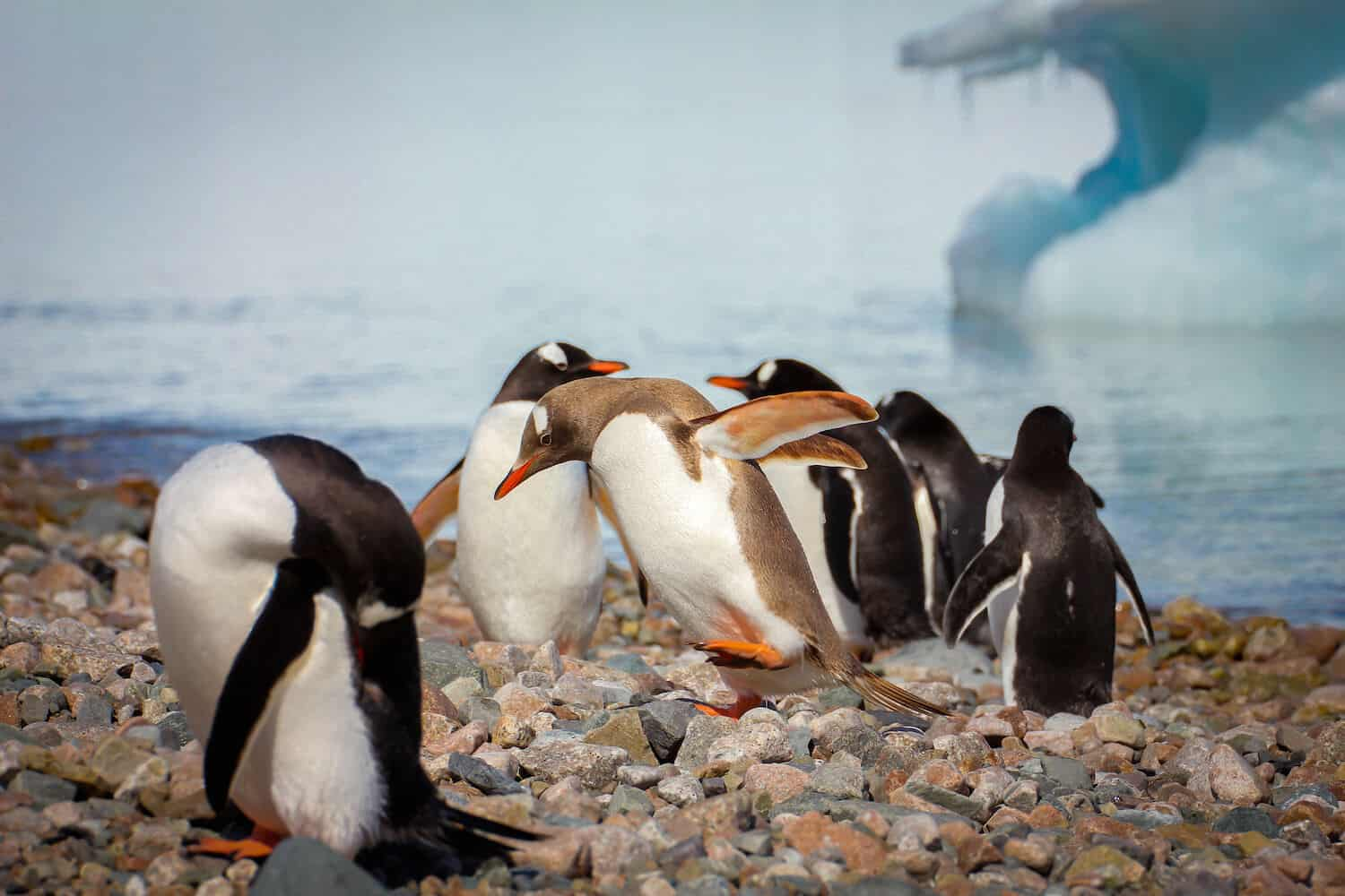 Antarctic Animals: Brown Gentoo Penguin