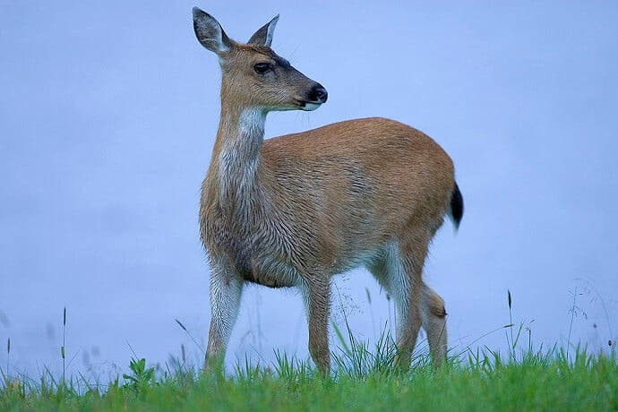 Alaska Animals -Sitka Deer