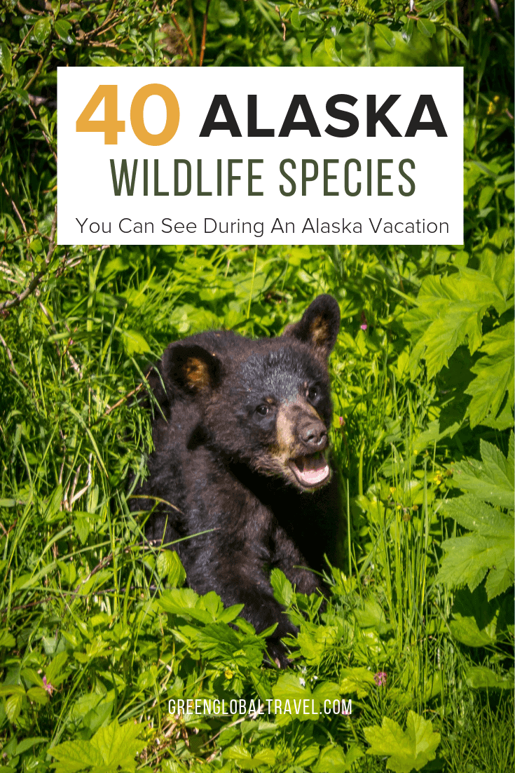 Alaska Animals: 40 Alaska Wildlife Species You Can See During An Alaska Vacation via @greenglobaltrv #Alaska #AlaskaCruise #AlaskaTravel #AlaskaVacation #AlaskaWildlife #AlaskaWildlifeNature #AlaskaWildlifePhotography #AlaskaWildlifeKillerWhales #AlaskaWildlifeBaldEagle #AlaskaWildlifeBabyBears #AlaskaAnimals #AlaskaAnimalsNationalParks #AlaskaAnimalsBucketLists #AlaskaAnimalsPictures #AlaskaAnimalsBabyBears #AlaskaBucketList