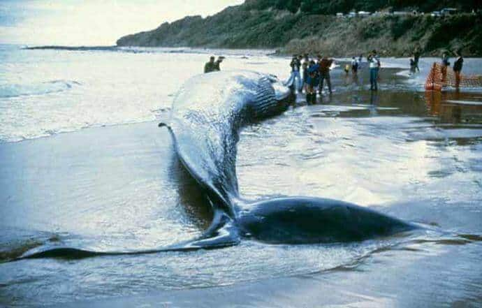 Blue Whales Endangered