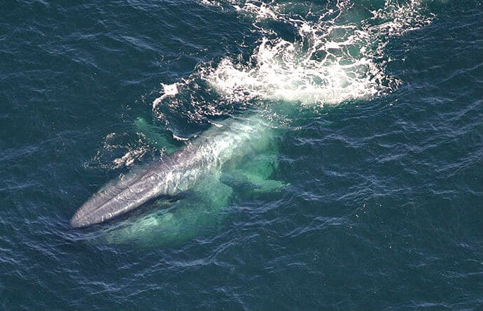 Swimming Blue Whale Photo