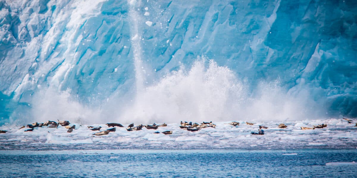 Harbor Seals at Holgate Glacier in Kenai Fjords National Park, Alaska