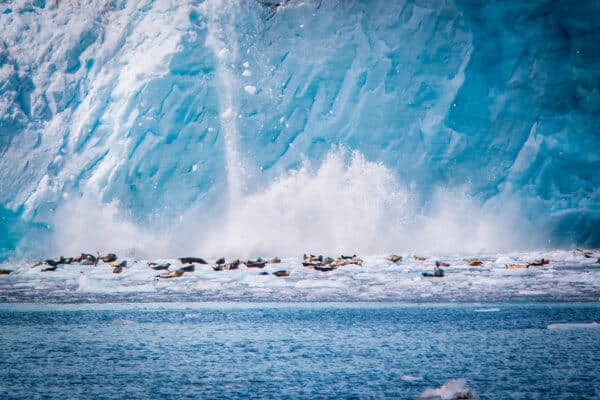 Harbor Seals at Holgate Glacier in Kenai Fjords National Park, Alaska