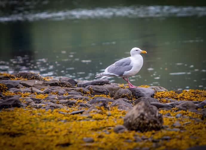 Glaucous Winged Gull in Kenai National Park, Alaska
