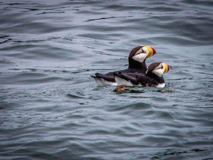 Horned Puffins in Alaska (Glacier Bay National Park)