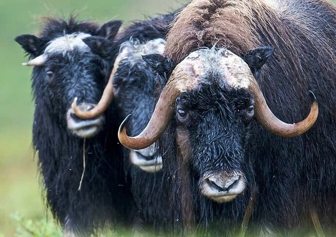 Muskox in Alaska by David Mark from Pixabay