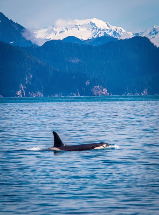 Orcas in Alaska (Kenai National Park)