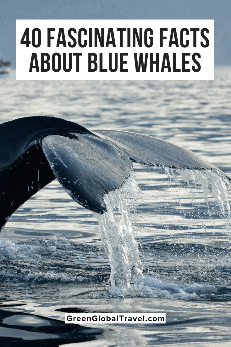 40 Fascinating Facts About Blue Whales (From Size & Diet to Conservation). Learn general Blue Whale Facts. Blue Whale Size | Why are Blue Whales Endangered? | Cool Facts About Whales | Blue Whale Conservation | Blue Whale Diet | Blue Whale Habitat | Blue Whale Information