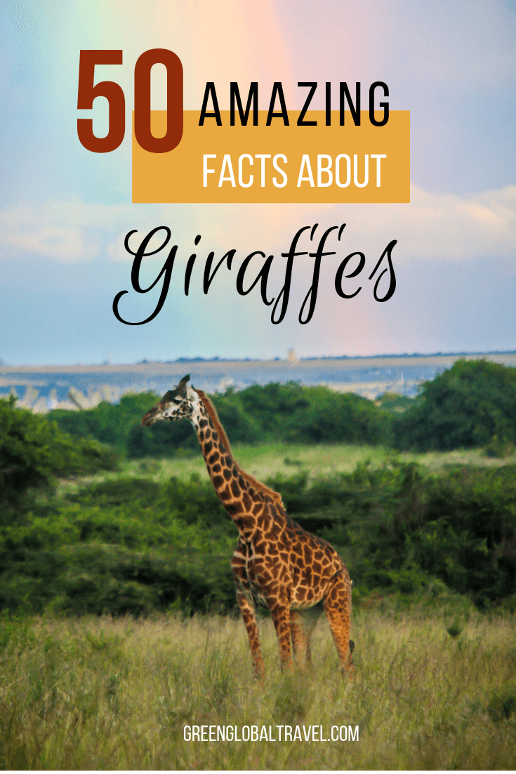 50 Fascinating Facts About Giraffes including Basic Giraffe Facts, Giraffe Neck & Body Facts, Giraffe Mating & Gestation, Giraffe Diet, Masai Giraffe, Reticulated Giraffe, Rothschild Giraffe, Why are Giraffes Endangered? & Fun Giraffe Facts via @greenglobaltrvl #giraffe #giraffefacts #giraffefactslife #giraffefactsworld #giraffefactsanimals #giraffefactspictures #africansafarianimals #africansafarianimalsgiraffes #africanwildlife #animals #animalfacts #animalfactsinteresting #animalfactswild