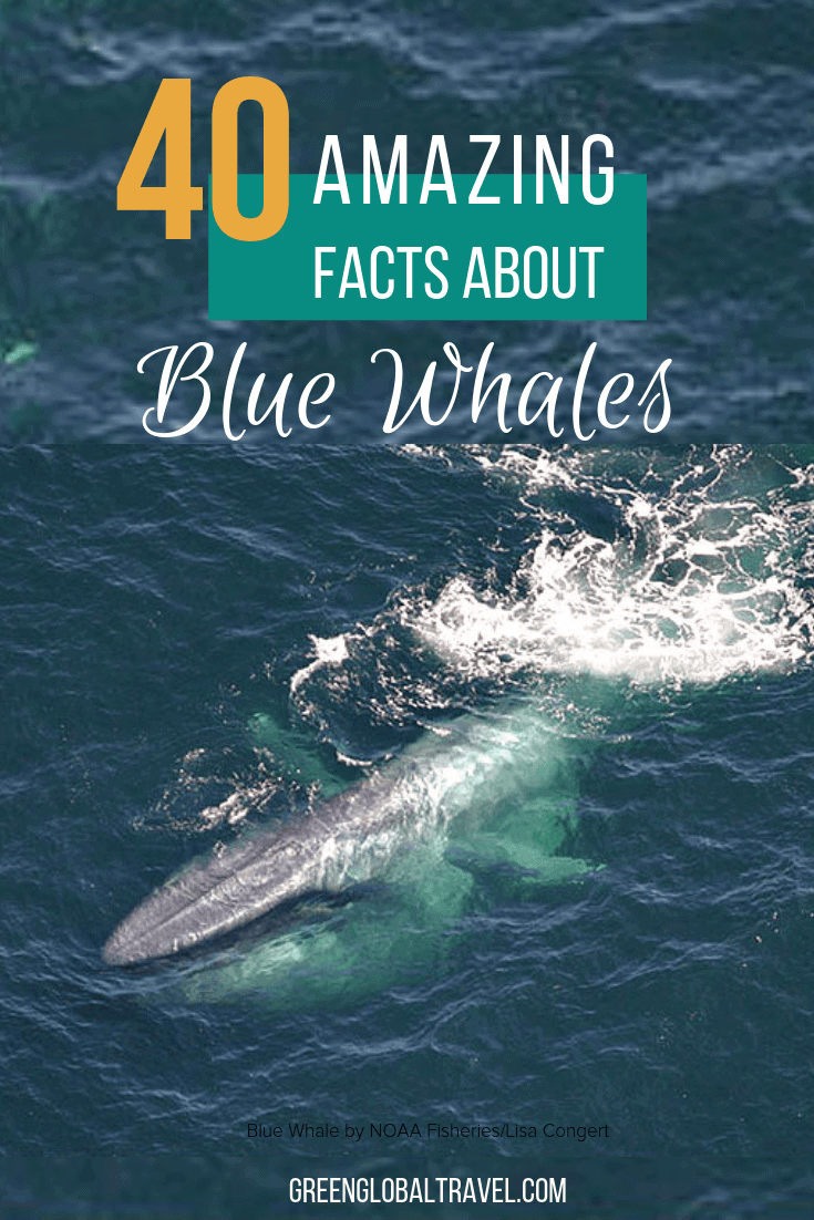 40 Fascinating Blue Whale Facts including Blue Whale Size, Blue Whale Habitat, Blue Whale Diet, Why Are Blue Whales Endangered?, Blue Whale Conservation & more! via @greenglobaltrvl #whales #bluewhales #Bluewhalesfacts #bluewhalesfactsanimals #bluewhalefactslife #bluewhalefactsswim #bluewhalefactsmammals #animalfacts #animalfactsinteresting #animalsfactsweird #animalfactsmating #animalfactsamazing