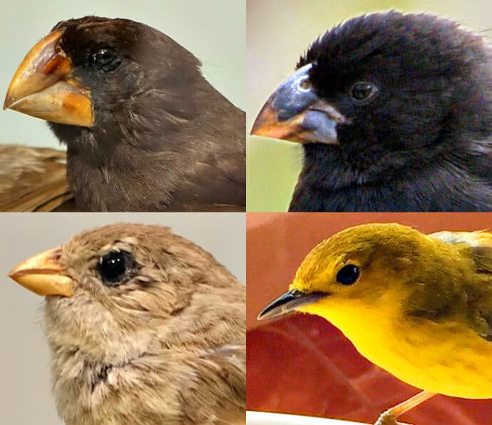 Darwin's finches beaks - the most famous Galapagos Birds