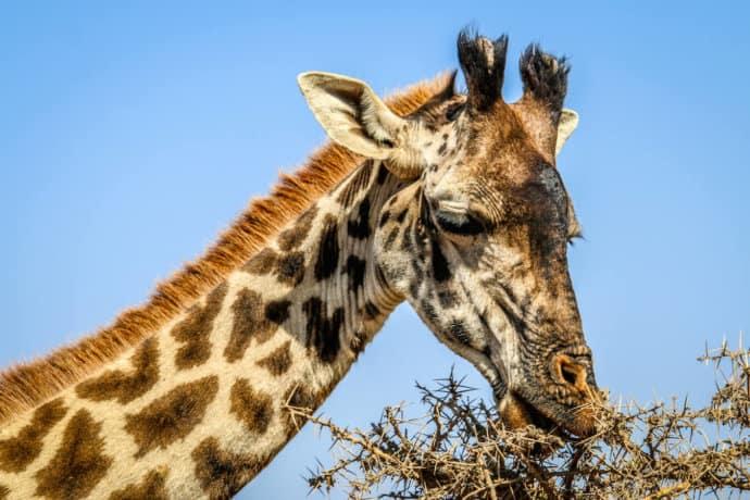 Masai Giraffe Closeup in Serengeti National Park, Tanzania