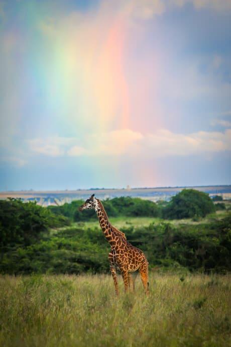 Giraffe and Rainbow in Nairobi National Park, Kenya