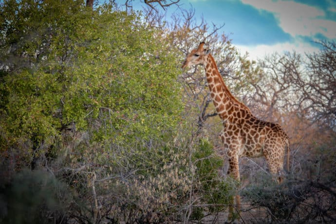Giraffe in Wild Rivers Nature Reserve in South Africa's Greater Kruger Area