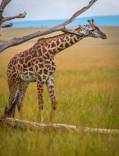 Masai Giraffe in Maasai Mara National Reserve, Kenya