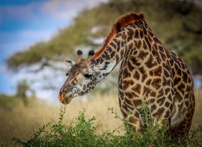 Giraffe Neck Extension in Tarangire National Park, Tanzania