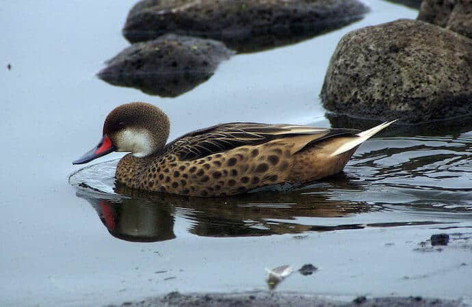 White Cheeked Pintail Duck in the SAnta Cruz highlands of the Galapagos Islands