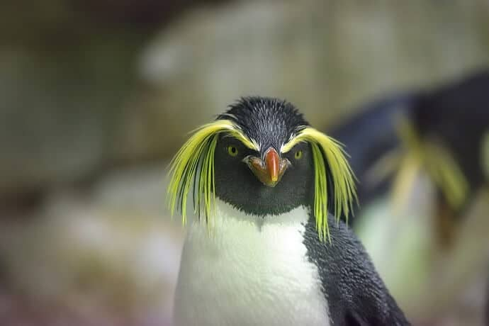 New Zealand Subantarctic Cruises - see Rockhopper Penguins