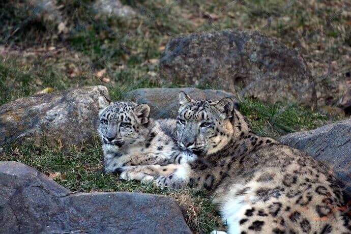 Snow Leopard Babies & Conservation Facts